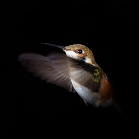 Embrace the Darkness by Briand Sanderson - Animals Birds ( bird, hummingbird, rufous hummingbird, rufous, selasphorus rufus, animal, rufus )