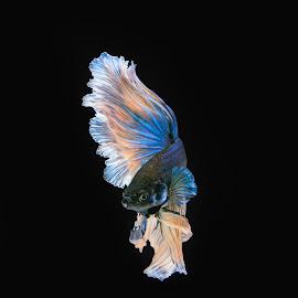 Ready to Fight by Tan Tc - Animals Fish ( betta, fighting fish, macro photography, fish, close up )