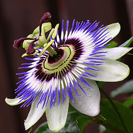 Passionflower by Chrissie Barrow - Flowers Single Flower ( stigma, single, purple, stamens, passionflower, petals, green, white, brown, garden, flower )