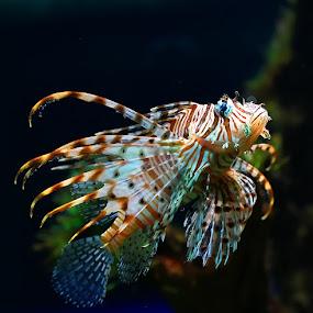 Scorpion Fish by Roy Ardy - Animals Fish ( fish, animal,  )