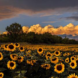 Glowing Sunflower  by Sushmita Sadhukhan - Landscapes Prairies, Meadows & Fields ( field, sunset, sunflower, garden, golden hour )
