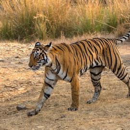 Tiger on the move by Pravine Chester - Animals Lions, Tigers & Big Cats ( tigress, ranthambore, big cats, photograph, nature, tiger, wildlife, india, animal )