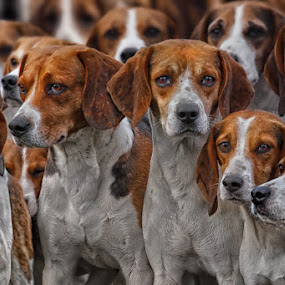 by Michael Milfeit - Animals - Dogs Portraits ( natural light, breed, hund, jagdhund, meute, pack, cute, pack of hounds, natural background, curious, mamal, beagle, animal, pedigree, hunting dog, male, animalia, adult, portrait, jagd, sit, canine, resting, sitting, animal kingdom, female, hound, hunting, zoology, rest, dog, standing, natural,  )