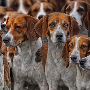 Beagle - Meute 2971.jpg