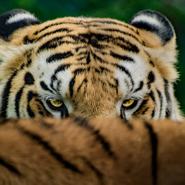 The Killer Look by Naveen Joyous - Animals Lions, Tigers & Big Cats ( tiger, nature, wildlife, portrait, animal )