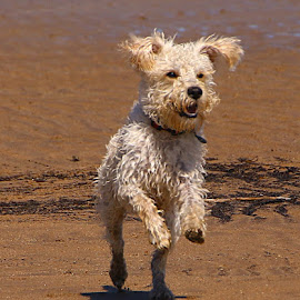 Pure Joy! by Chrissie Barrow - Animals - Dogs Running ( sand, curly, joy, labradoodle, pet, fur, ears, legs, beach, wet, dog, running )