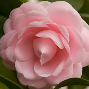 Camelia by Ken Quiñones Street - Nature Up Close Flowers - 2011-2013
