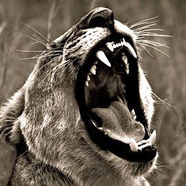 Showing Teeth by Pieter J de Villiers - Black & White Animals