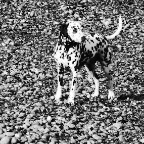 Spot the Dog.  by Andrea Clayton - Animals - Dogs Portraits ( dalmatian, beach, dog, animal )