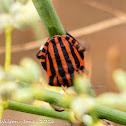 Italian Striped Shield Bug
