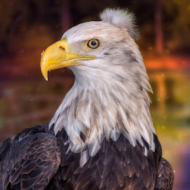 Bad Hair Day Bald Eagle by Bill Tiepelman - Animals Birds ( bird, bald eagle, animal )