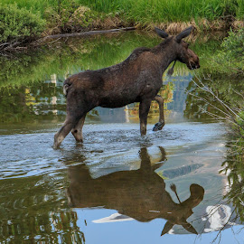 Moose Crossing by Kathy Suttles - Animals Other Mammals