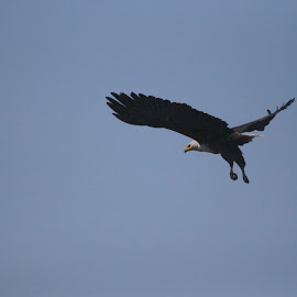 Flight of an Eagle by Christo W. Meyer - Novices Only Wildlife ( flight, fish eagle )
