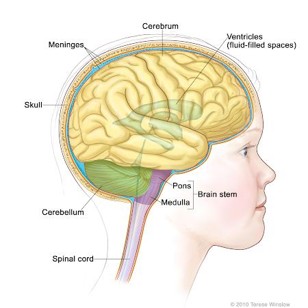 Anatomy of a Child's Brain