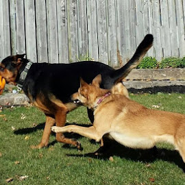 The chase is on by Anthony Carlo - Animals - Dogs Running ( dogs, dogs playing, fun, run, running,  )