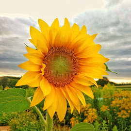 sunflower by Zachary Taylor - Instagram & Mobile Android ( mobilography, sky, green, yelow, sunflower )