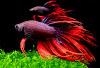 Cá thia đá loài cá cảnh dễ nuôi mà đẹp