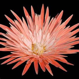 Beauty by SANGEETA MENA  - Flowers Single Flower