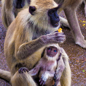 Expectations by Muthu Kumar - Animals Other ( mother, expectation, food, eating, monkey, kid )