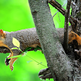 Lazy squirrel by Ruth Overmyer - Animals Other Mammals (  )
