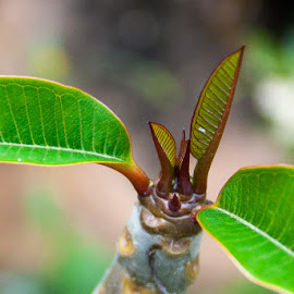 New Frangipani shoots by Mark Luyt - Nature Up Close Leaves & Grasses ( close up, leaves, new shoots, spring growth, frangipani,  )