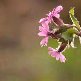 Red Campion by Mike Hawkwind - Flowers Flowers in the Wild ( red campion, scotland, uk, plants, muiravonside, flowers )