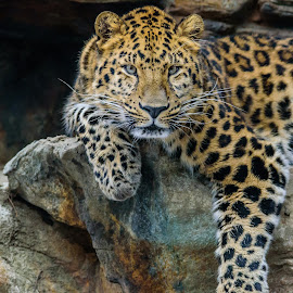 Leopard by John Sinclair - Animals Lions, Tigers & Big Cats ( nature up close, wildlife, leopard )