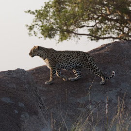Leopard by VAM Photography - Animals Lions, Tigers & Big Cats ( tanzania, leopard, nature, animal, serengeti )