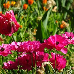 червени цветя by Dobrinka Ivanova - Uncategorized All Uncategorized ( цветя )