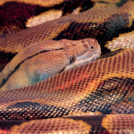 Reticulated Python by Scott Stolsenberg - Animals Reptiles ( python, nature, snake, serpent, reptile )