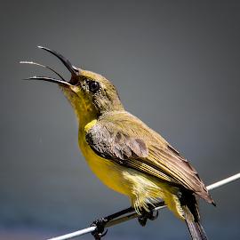 Fierce and Small by Boyet Lizardo - Animals Birds ( bird photography, bird, birding, photography, wildlife )