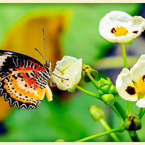Butterfly by Fotugraphar Quazi - Animals Insects & Spiders ( nature, green, wallpaper, wildlife, butterfy, insect, flower )