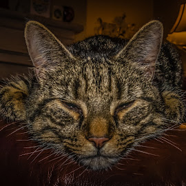 Mr Claus by Anthony P Morris - Animals - Cats Portraits ( cats, cat, anthony morris, mrclaus, oxford, farmoor )