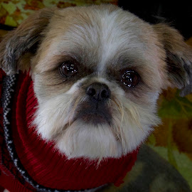 by D. Bruce Gammie - Animals - Dogs Portraits ( attitude, sweater, victoria, dog, cute dog )