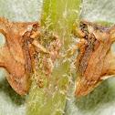 Keeled Treehoppers