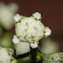 Flor de Pajarito (Flower for Little Birds)