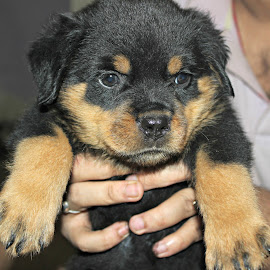 Vader by Rohit Chaudhuri - Animals - Dogs Puppies ( fluffy, cute puppy, paws, smile, rottweiler )