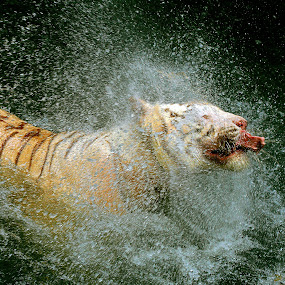 Tiger Splash by Alit  Apriyana - Animals Other