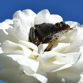 Frog & Flower by Marc Rosquellas Mora - Animals Amphibians ( resting, sky, frog, white, flower )