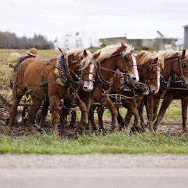 Horse power by Donna Davis Kasubeck - Animals Horses