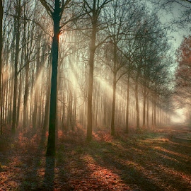 relaxed forest by Egon Zitter - Landscapes Forests ( harp, fog, beam, forest, sunrise, mist )