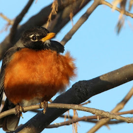 Robin by Rita Flohr - Novices Only Wildlife ( bird, robin, nature, tree, feathers, songbird, morning,  )