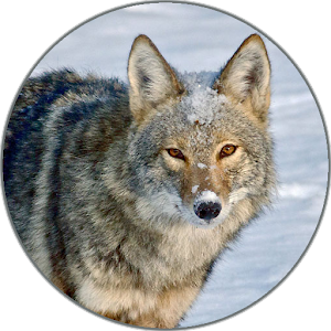 free coyote sounds apk for windows 8 download android apk games apps for windows 8. Black Bedroom Furniture Sets. Home Design Ideas