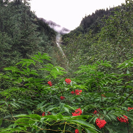 Red Elder at the base of Twin Falls, Smithers, B.C. by Todd Bellamy - Nature Up Close Trees & Bushes ( red, nature, waterfall, rainforest, berries )