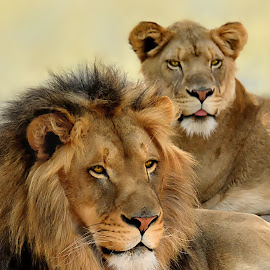 Lion Pair by Shawn Thomas - Animals Lions, Tigers & Big Cats ( pride, predator, lion, cat, carnivore, mane, wildlife, king, large )