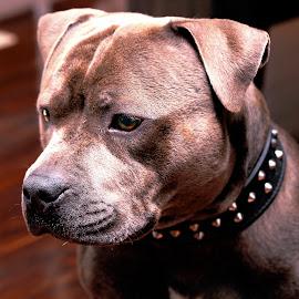 by Michael Karakinos - Animals - Dogs Portraits
