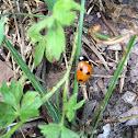 Asian beetle, ladybug