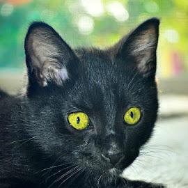 V - by B Lynn - Animals - Cats Kittens ( mammals, face, mammal, eyes, animal )