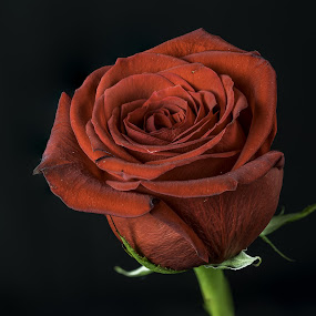 The rose by Jason Lemley - Flowers Single Flower ( rose, macro, petals, red rose, close up flower )