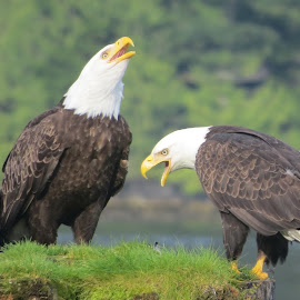 Eagles by Susan Felhouser - Novices Only Wildlife